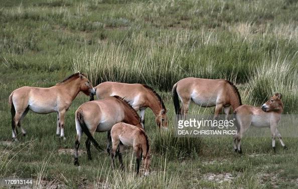 Przewalski's horse or takhi Khustain Nuruu National Park Mongolia