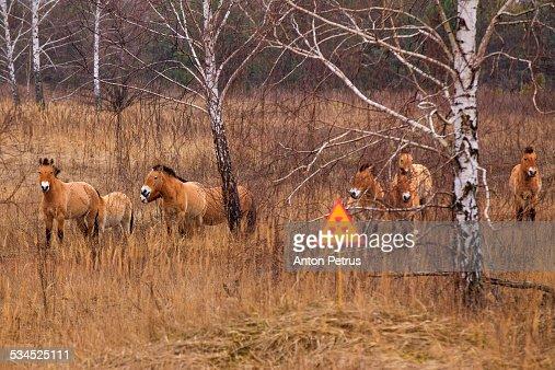 Przewalski's horse the Exclusion Zone, Chernobyl