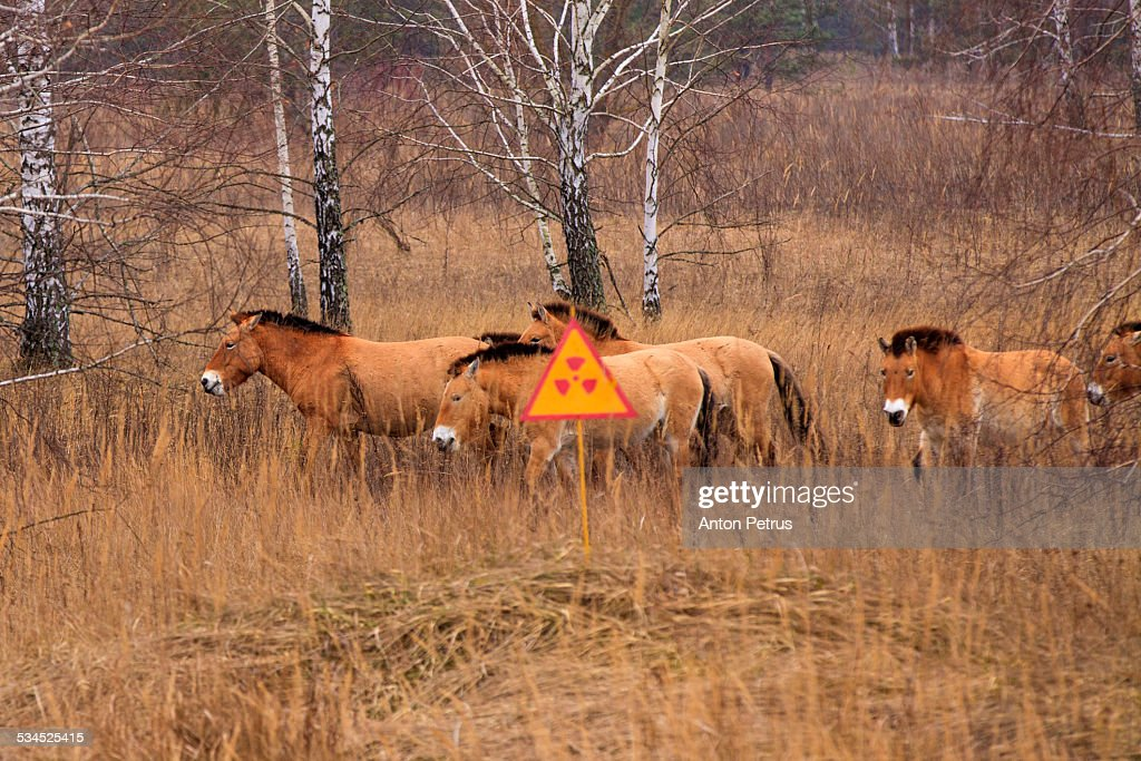 Przewalski's horse the Exclusion Zone. Chernobyl