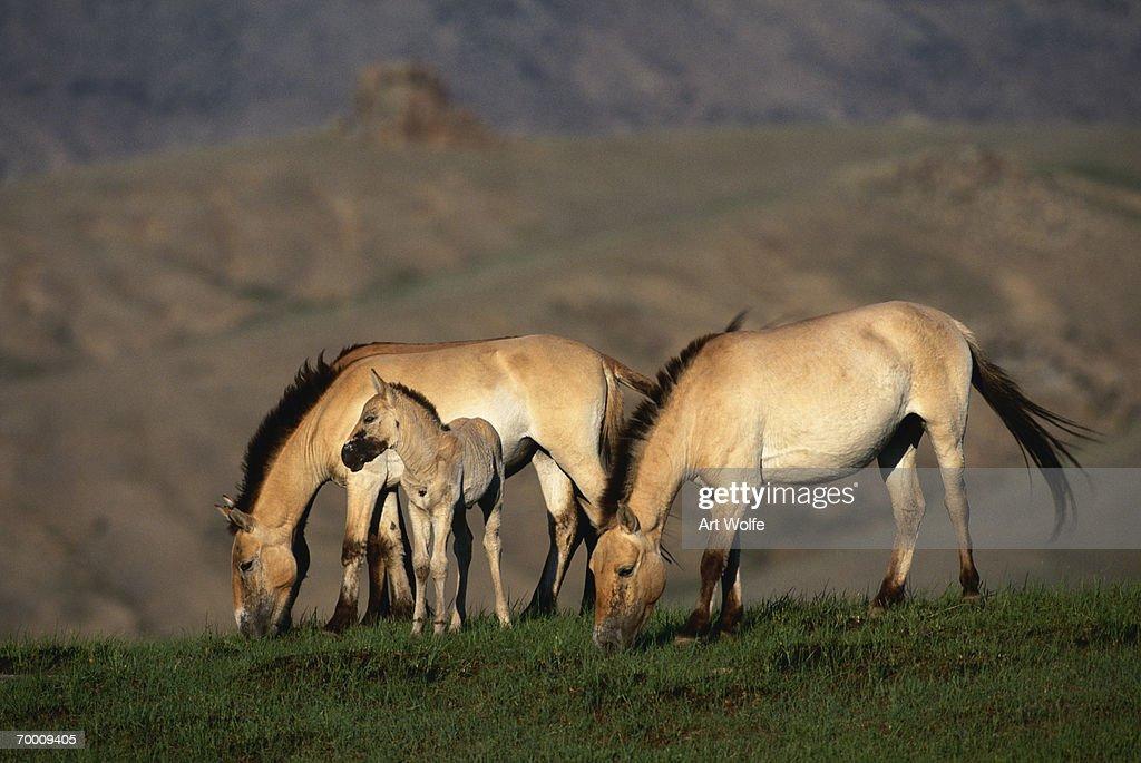 Przewalski's wild horses (Equus przewalskii) grazing, Mongolia