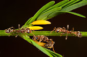 Pseudomyrmex sp. ants on Acacia bush