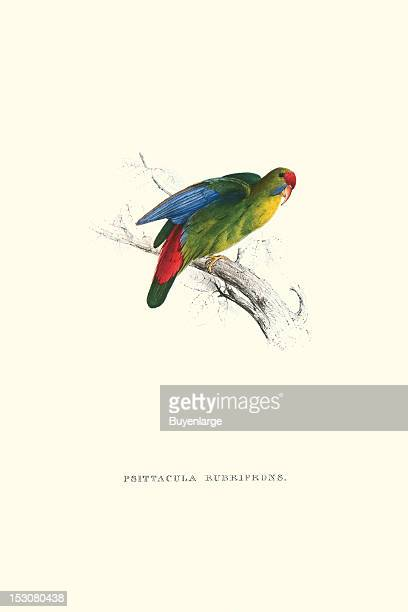 Psittacula Rubrifrons or Redfronted Parakeet 1831 From 'Illustrations of the Family of Psittacidae or Parrots' by Edward Lear