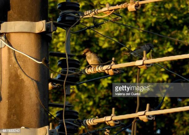 Pássaro na linha