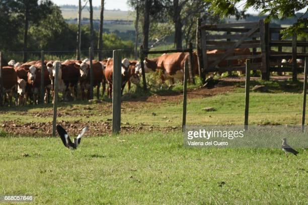 Pássaros e gado braford na mangueira