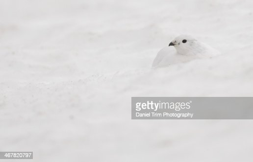 Ptarmigan settled in the snow