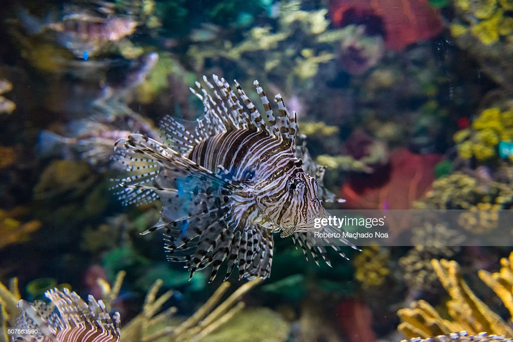 Pterois is a genus of venomous marine fish commonly known as lionfish native to the IndoPacific Pterois also called zebrafish firefish turkeyfish or...