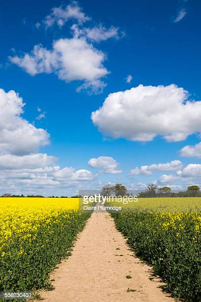 Public footpath through a rape seed field
