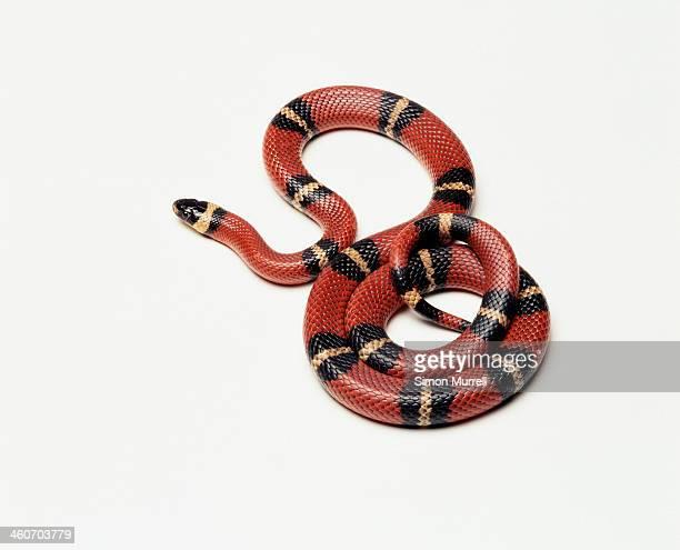 Pueblan Milk Snake (Lampropeltis trangulum campbelli), studio shot