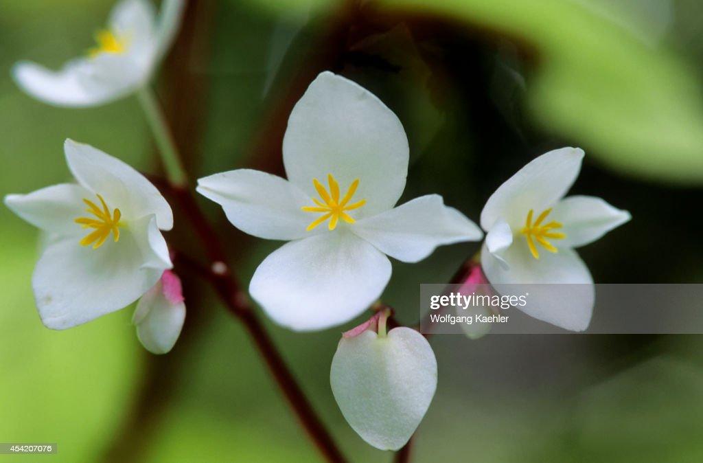 Puerto Rico, El Yunque Rain Forest, Flower.