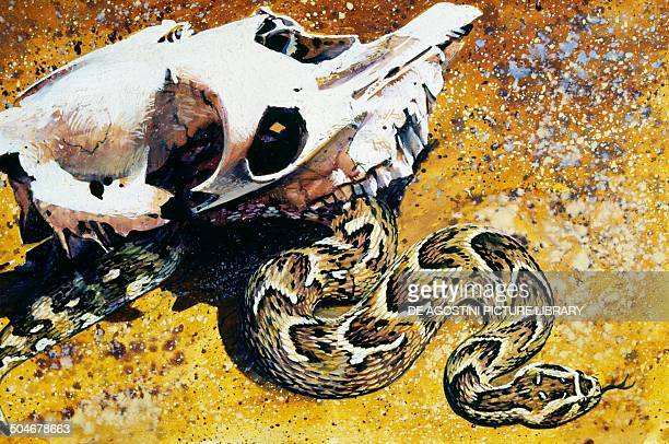 Puff Adder or African puff Adder Viperidae drawing