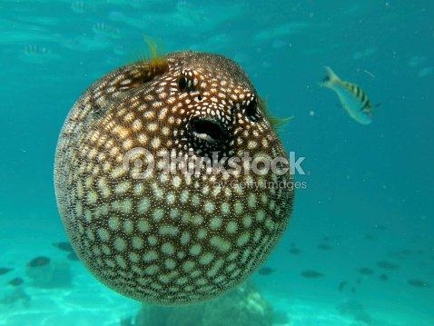 Pesce palla foto stock thinkstock for Pesce palla immagini