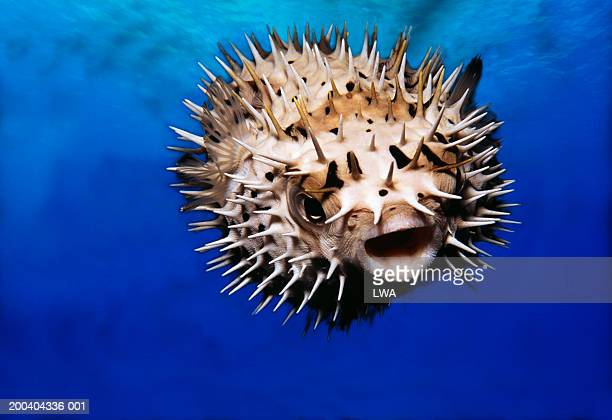 Pufferfish, underwater view