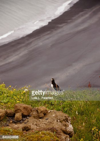 Puffin alone, looking at the black beach : Foto de stock