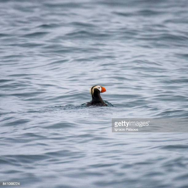 Puffin, Avacha bay, Kamchatka peninsula