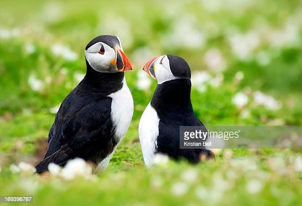 Puffin courtship