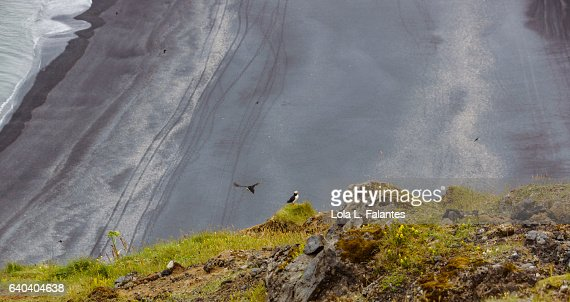 A puffin flying and other looking at the black beach : Foto de stock