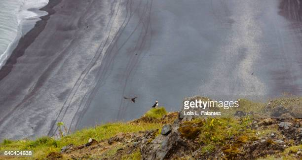 A puffin flying and other looking at the black beach