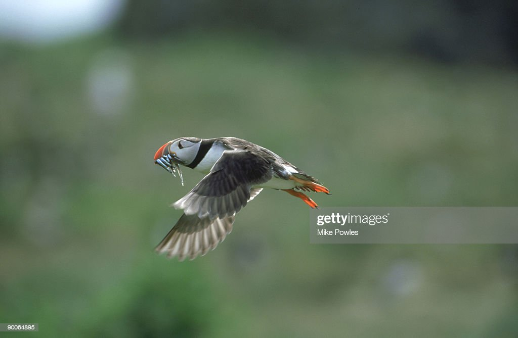 puffin:  fratercula arctica  in flight with sand eels  farne s, northumberland
