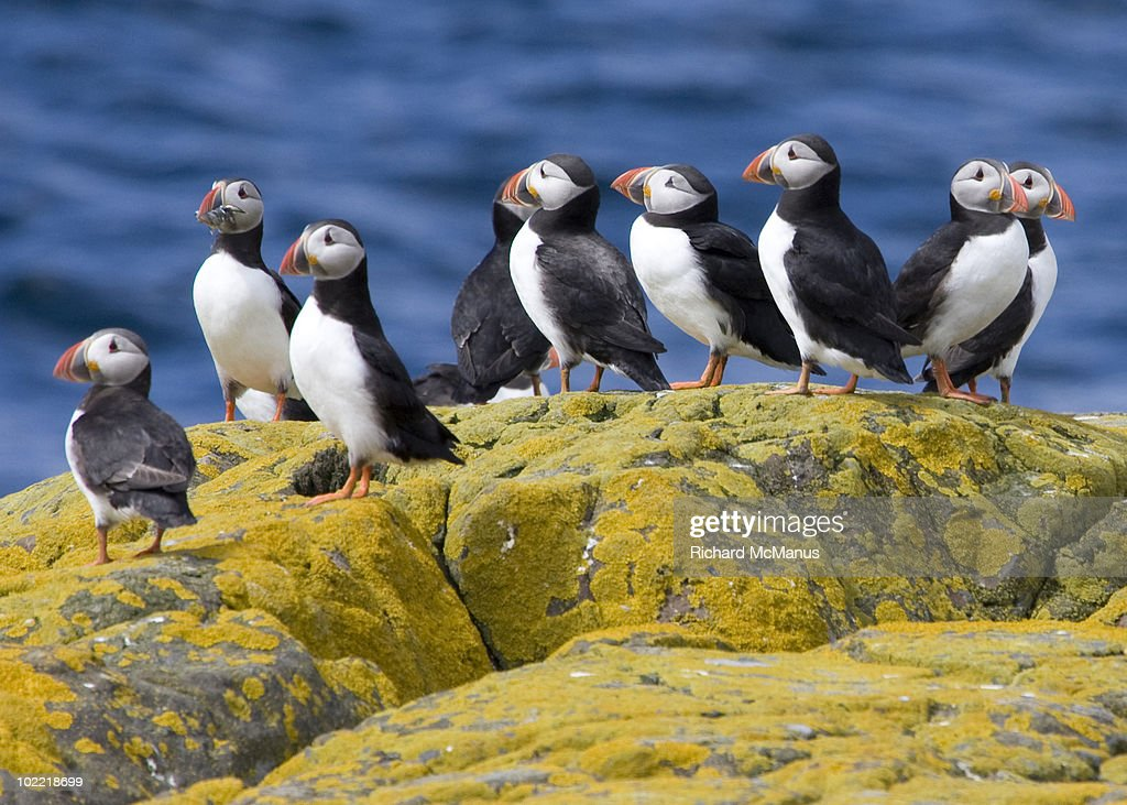 Puffin group on yellow rock against blue sea.