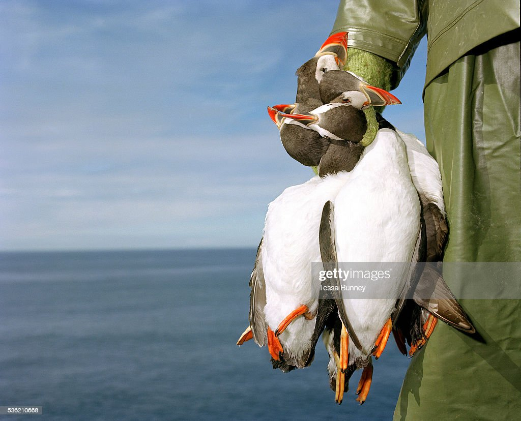 Puffin hunter Jakob Erlingsson holds dead puffins he has caught using a net in his hands Vestmannaeyjar Iceland Puffin hunting has been of major...