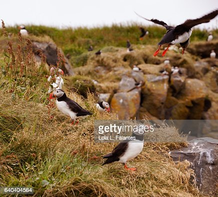 Puffin landind at his colony : Foto de stock