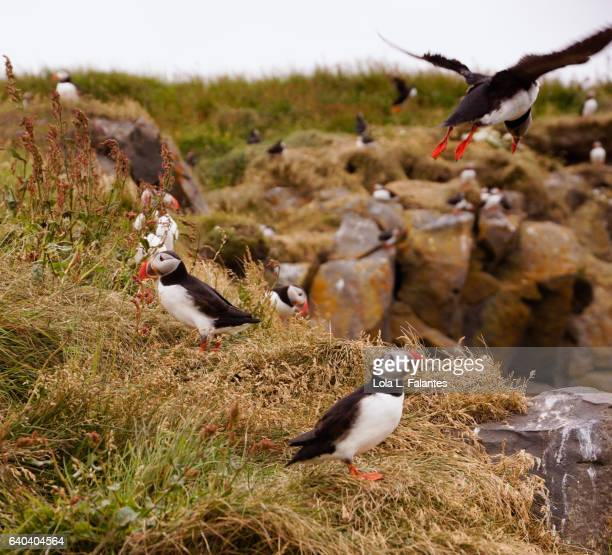 Puffin landind at his colony