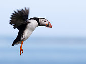 A Puffin (Fratercula arctica) coming in to land on the Farne Islands in Northumberland, England
