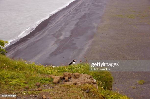 A puffin on the cliff over the black sand beach