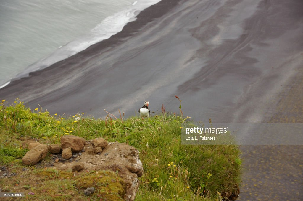 Puffin on the edge of the cliff : Foto de stock