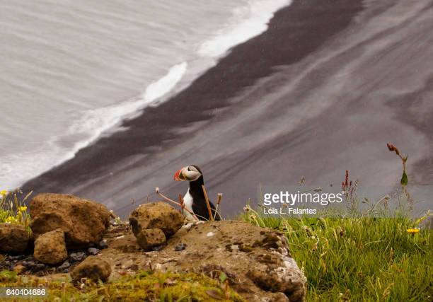 Puffin over the black beach