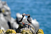 A pair of Atlantic puffins found on Isle of May, Scotland