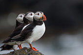 Puffin on the isle of May, Scotland.