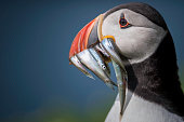 Puffin on the Skomer Island off the Pembrokeshire Coast, England.