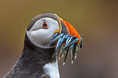 Puffin (Fratercula arctica) with beek full of eels on its way to nesting burrow in breeding colony