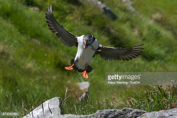 Puffin With Fish Flying In Mid-Air