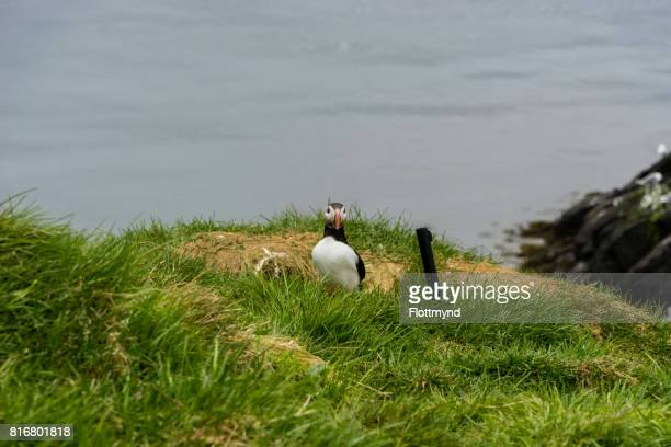Puffins on it's nest in eastern Iceland