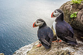 Puffin couple in front of their burrow on the Latrabjarg cliffs, West Fjords, Iceland
