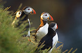 puffins at sunset on the cliffs , taken on the north east coast of scotland.