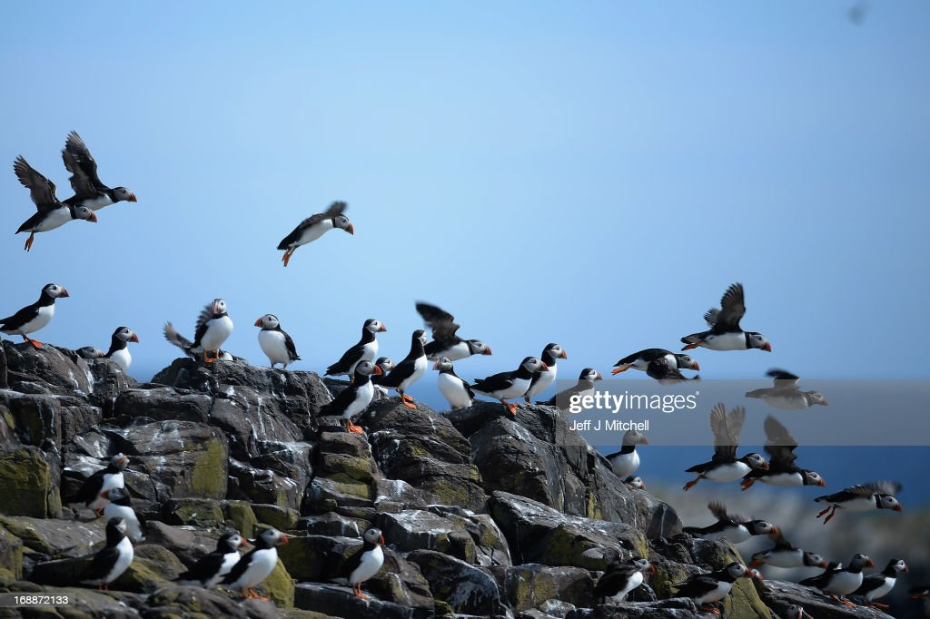 Puffins return to their summer breeding grounds on the Farne Islands as National Trust rangers carry out a Puffin census on the Farne Islands on May 16, 2013 in Farne, England. A census is carried out every five years with the last one in 2008 recording 36,500 pairs of puffins. The Farne Islands, offer good protection for the birds to nest, providing excellent sources of food, and few ground predators, despite this rangers fear that the extreme winter could impact on breeding numbers.
