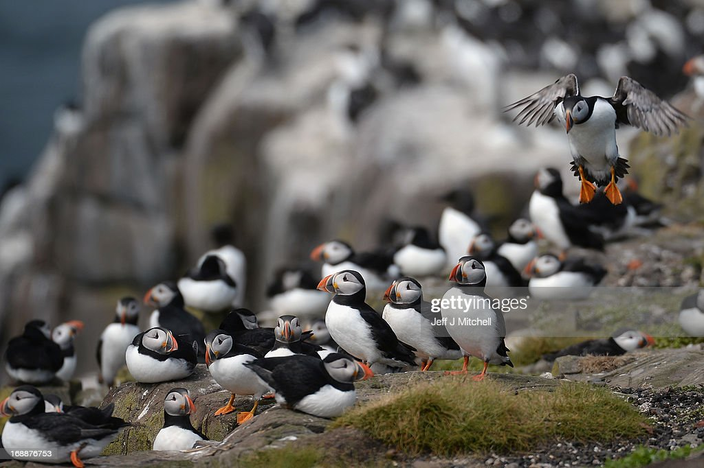 Puffins return to their summer breeding grounds on the Farne Islands as National Trust rangers carry out a Puffin census on May 16 2013 in the Farne...
