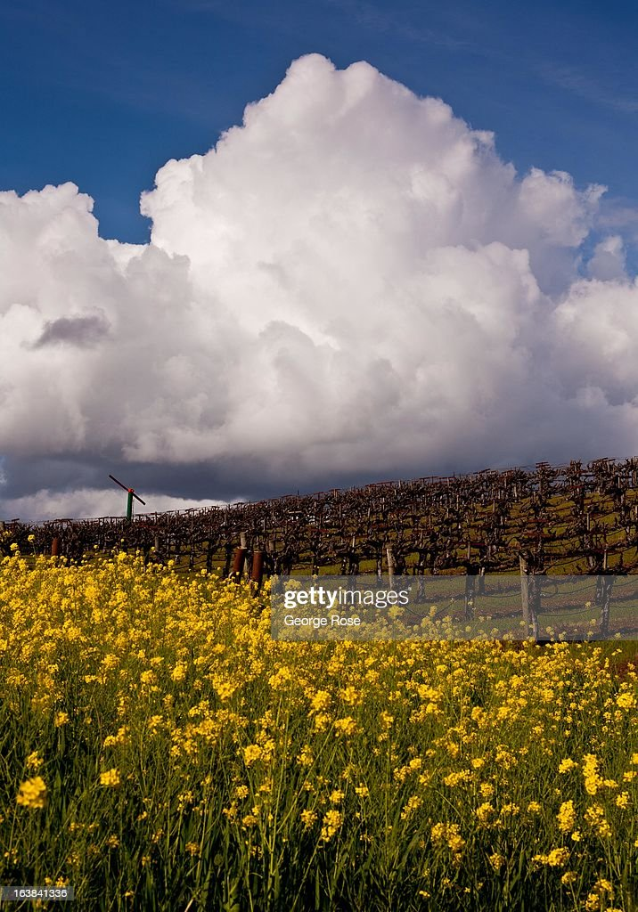Puffy clouds form above a Dry Creek Valley vineyard covered in wild mustard on March 6, 2013, near Healdsburg, California. Sonoma County, along with Napa Valley, has grown to become one of California's most prestigious wine grape growing regions and known for its cool climate pinot noir and chardonnay.