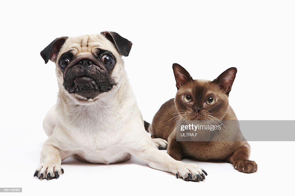 pug and burmese cat : Stock Photo