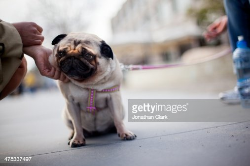 Pug Dog being patted by a women : Stock Photo