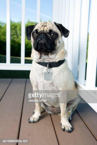 Pug dog on veranda, close-up : Bildbanksbilder