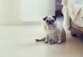 Funny pug dog sitting on a flor posing