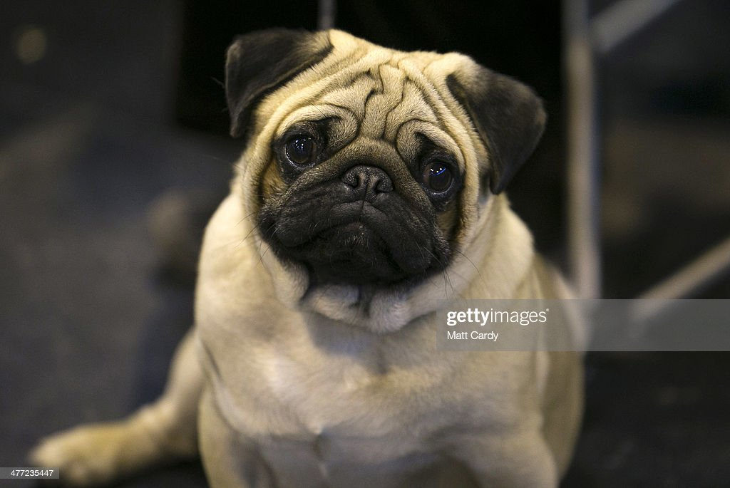 A pug dog sits with its owner on the Toy and Utility day of the Crufts dog show at the NEC on March 8 2014 in Birmingham England Said to be the...