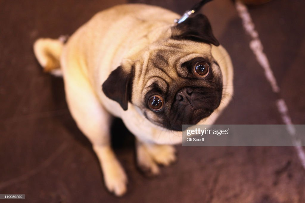 A pug dog stands in the exhibition hall on the final day of the annual Crufts dog show at the National Exhibition Centre on March 13 2011 in...