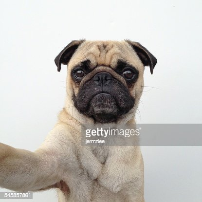 Self portrait of pug