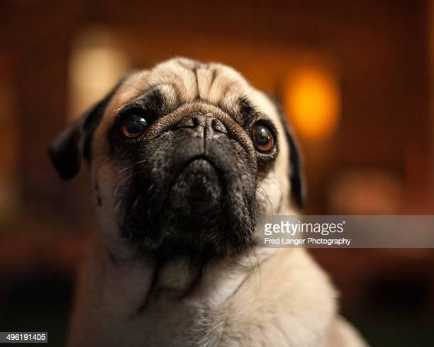 Pug dog with blurred orange background