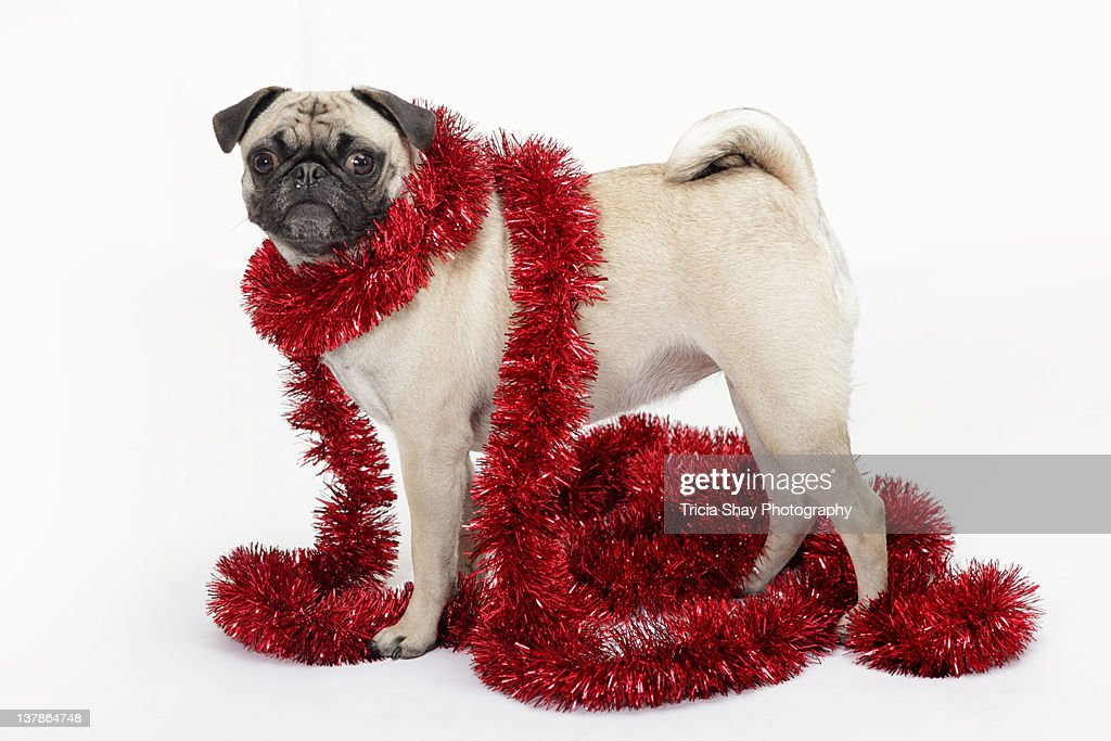 Pug dog with red garland